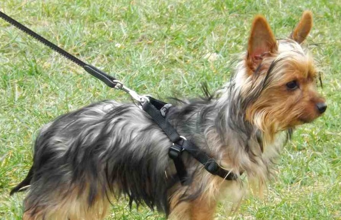 yorkshire-terrier-photo